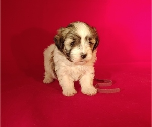 Havanese Puppy for sale in WINSTON SALEM, NC, USA