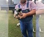 Small #9 Australian Cattle Dog