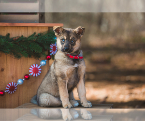 German Shepherd Dog-Siberian Husky Mix Puppy for sale in BROOKLYN, MI, USA