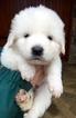 Puppy 9 Maremma Sheepdog