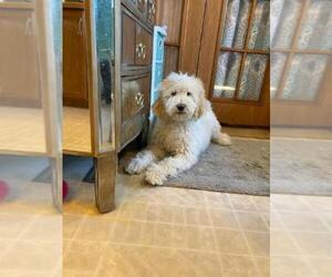 Saint Berdoodle Puppy for Sale in FINLAYSON, Minnesota USA
