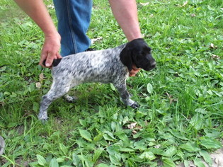 German Shorthaired Pointer Puppy For Sale in PRINCETON, IA, USA