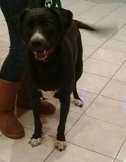 Prince - Black Labrador Retriever / German Shorthaired Pointer / Mixed (short coat) Dog For Adoption