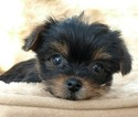Shorkie Tzu Puppy For Sale in WARREN, MA