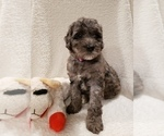 Small #16 Goldendoodle-Sheepadoodle Mix