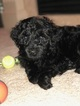 Puppy 0 Portuguese Water Dog