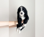 Small Photo #2 Bernedoodle Puppy For Sale in COLUMBIA, MO, USA