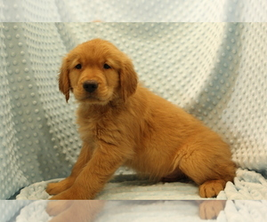 Golden Retriever Puppy for sale in JOICE, IA, USA