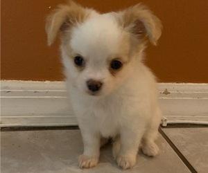 Chihuahua Dog for Adoption in OVIEDO, Florida USA