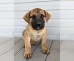 Small Mastiff