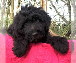 Aussiedoodle Puppy for sale in PALATKA, FL, USA
