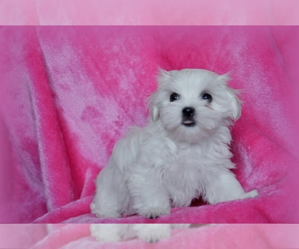 View Ad: Maltese Puppy for Sale near Japan