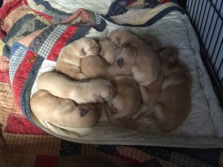 Golden Retriever Puppy For Sale in COSHOCTON, OH