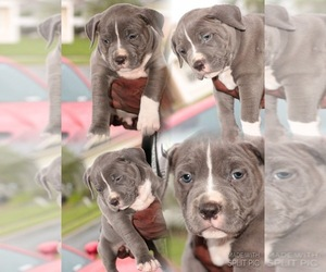 American Pit Bull Terrier Dog for Adoption in SANFORD, Florida USA