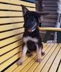 German Shepherd Dog Puppy For Sale in ARTHUR, IL, USA