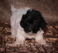 Havanese Puppy For Sale in WAYLAND, IA, USA