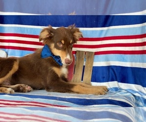 Miniature Australian Shepherd Puppy for sale in LANCASTER, PA, USA
