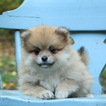 Pomeranian Puppy For Sale in GAP, PA,