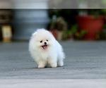 Small #6 Pomeranian