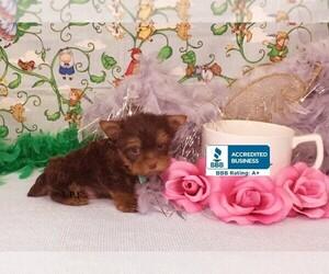 Yorkshire Terrier Puppy for sale in WINNSBORO, LA, USA