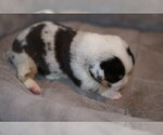 Puppy 4 Welsh Cardigan Corgi
