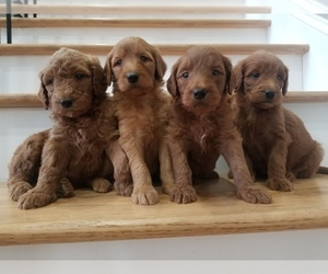Goldendoodle Puppy for Sale in FALKVILLE, Alabama USA