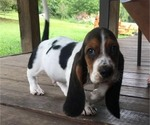 Beautiful Basset Hound Pure breed CKC registered