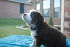 Miniature Australian Shepherd Puppy For Sale in GRANBURY, TX