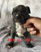American Pit Bull Terrier Puppy For Sale in WEST RICHLAND, WA, USA