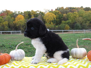 View Ad Newfoundland Litter Of Puppies For Sale Near Ohio