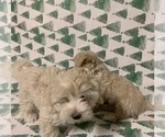 Maltipoo-Morkie Mix Puppy For Sale in LAVEEN, AZ, USA