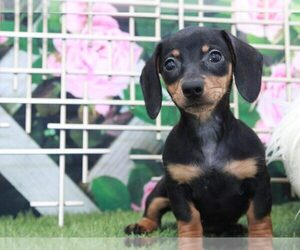 Dachshund Dog for Adoption in MARIETTA, Georgia USA