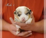 Image preview for Ad Listing. Nickname: Merle Male 1