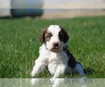 Puppy 3 Springerdoodle