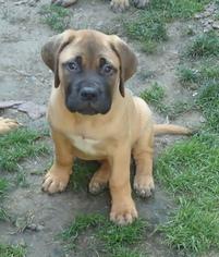 Bullmastiff Puppy For Sale in LIMA, NY, USA