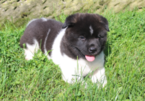 Registered Akita Puppies
