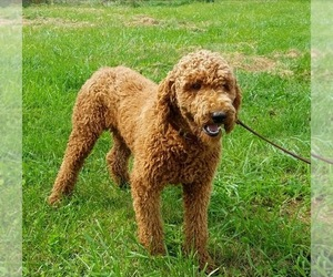 Father of the Labradoodle puppies born on 09/26/2020