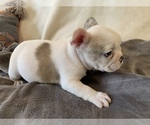 Small Photo #15 French Bulldog Puppy For Sale in JOHNS ISLAND, SC, USA
