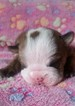 Bulldog Puppy For Sale in MARION, VA, USA