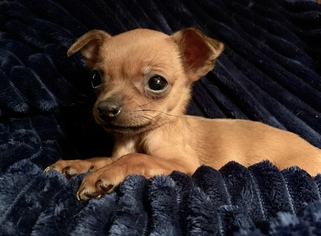 Chihuahua Puppy for sale in LAMAR, MO, USA