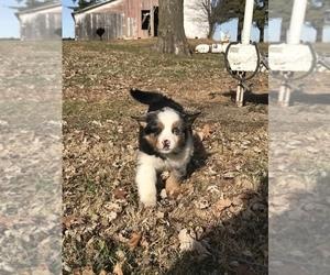 Miniature Australian Shepherd Puppy for sale in UNION, NE, USA
