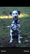 Dalmatian Puppy For Sale in TACOMA, WA, USA