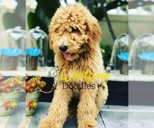 Goldendoodle Puppy for Sale in OXNARD, California USA