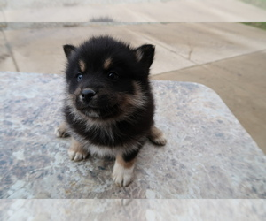 Pomsky Puppy for sale in ANN ARBOR, MI, USA