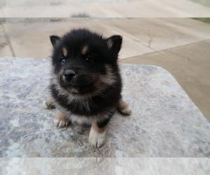 Pomsky Dog for Adoption in ANN ARBOR, Michigan USA