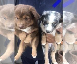 Miniature Australian Shepherd Puppy for sale in NATURITA, CO, USA