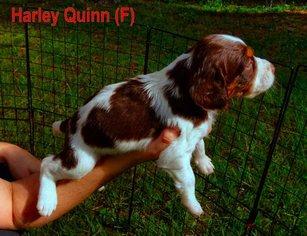 Brittany Puppy For Sale in TUCKER, GA