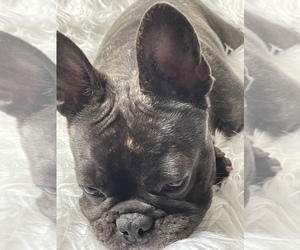French Bulldog Puppy for Sale in MIAMI, Florida USA