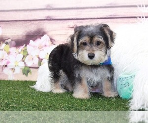 Cavachon-Yorkshire Terrier Mix Puppy for sale in MARIETTA, GA, USA
