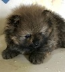 Pomeranian Puppy For Sale in TITUSVILLE, PA, USA